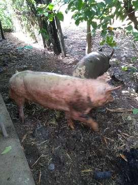 Se venden 6 cerdas y 1 cerdo son cerdas que tienen su segunda cria y se encuentran preñadas, promedio 11 cerdos vivos
