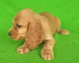 Hermosos cachorritos cocker spaniel jugueton orejones excelente genética