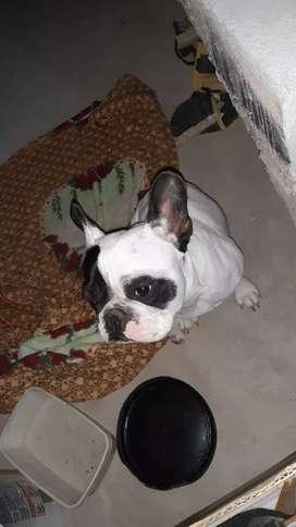 Busco novia listo para servicio de stud bulldog francés