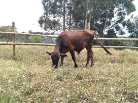 Vendo lote de ganado
