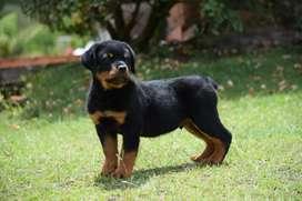 Hermoso cachorro Rottweiler macho