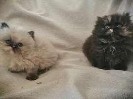 Gatos perza