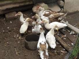 Patos maltones