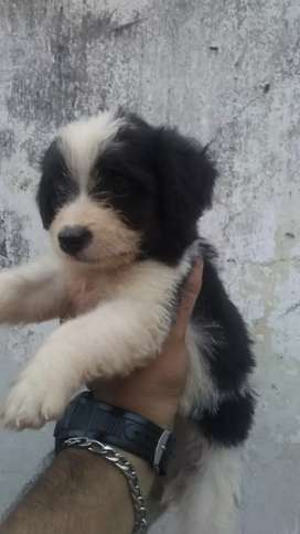 Vendo dos perritas French poodle