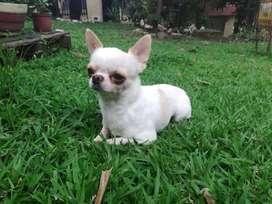 Disponible para monta! Chihuahua micro, cabeza de manzana!