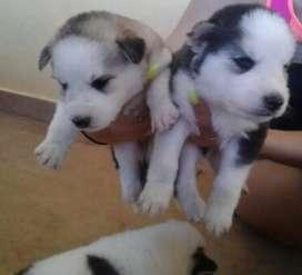 Geniales mascotas lobo siberiano en venta