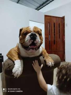 Bulldog Inglés para monta
