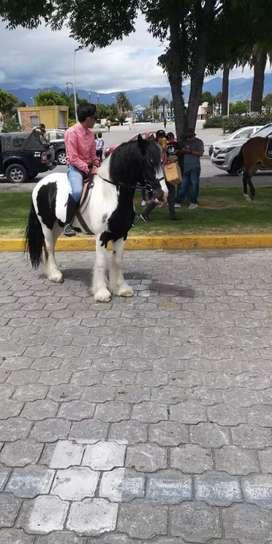 Vendo o cambio caballo gypsi