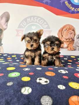 Yorkshire terrier mini encantadores