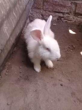 Conejo nueva zelanda