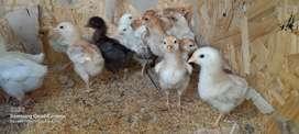 Vendo pollos y pollitos