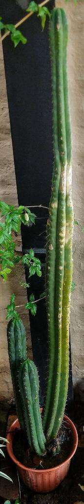 Cactus 1 Metro Aprox Grande