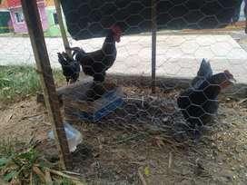 Pareja de pollos criollos
