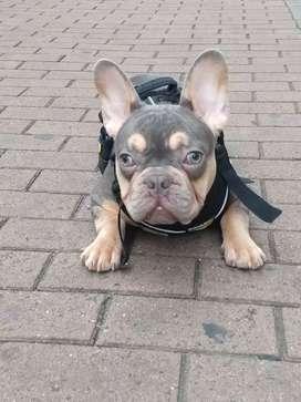 Bulldog frances lilac and tan disponible para montas,novio ,novia
