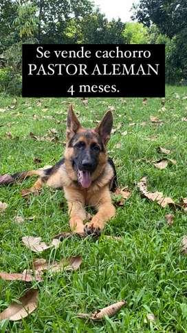 Se vende cachorro de pastor aleman 4 meses con todas sus vacunas