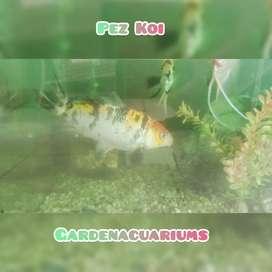 Hermoso pez koi