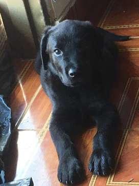 Labrador negro de 2 meses