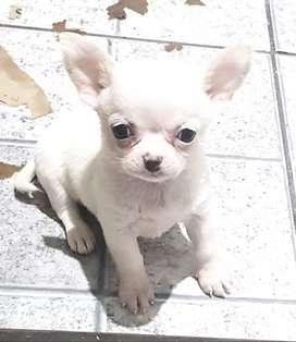 Chihuahuas Mini Hermosos, Excelente Cali