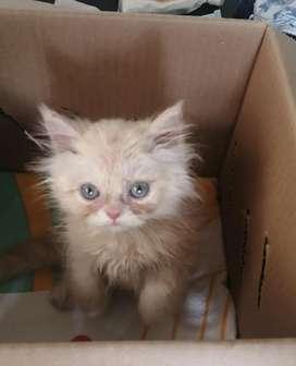 Vendo gato persa hermoso