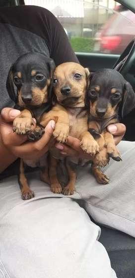 Cachorros salchichas hembras y machos