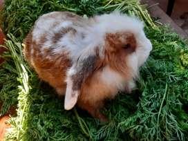 Conejo macho disponible.
