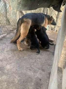 Cachorros pastor alemán hijos de Sacha