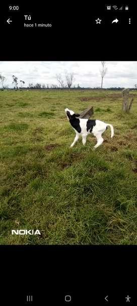 Machos raza  Holstein de días de nacidos