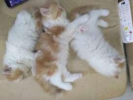 Se venden Gatitos Persas machos listos para entrega