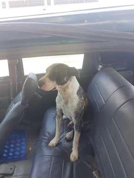 Perro busca novia para monta