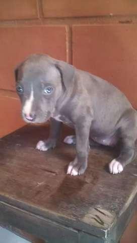 Vendo hermosa pitbull blue