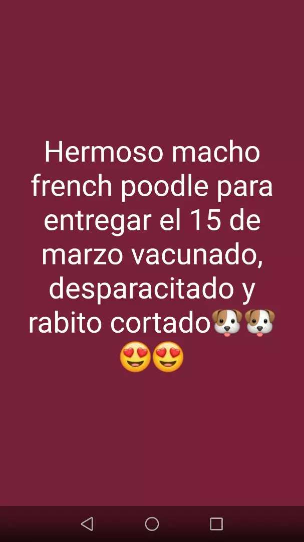 Macho french poodle 0