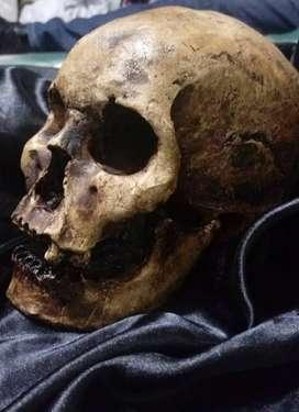 Craneo / Calavera / Skull Realista en yeso
