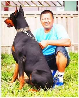 Doberman pedigree en Chincha Peru