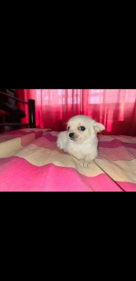Hermosa cachorra Chihuahua
