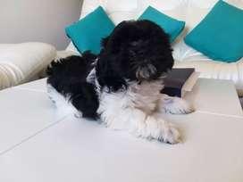 Hermoso cachorro de Shitzu, tiene 46 días de nacido, ya tiene primer vacuna, esta listo para entrega.