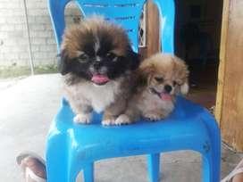 Cachorritos de raza pekinez