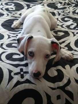Vendo cachorra dálmata ojos azules de 5 meses con todas las vacunas