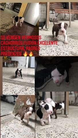 Cachorros fusion pitbull bully