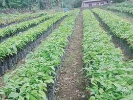 Vendo o cambio plantas de cacao ccn51 por vehiculo