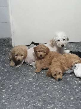 Vendo. Cachorros caniche toy color apricot.