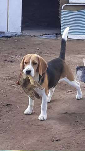 Busco novia beagles