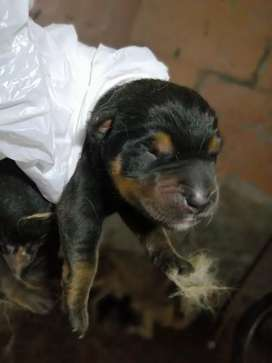 Se venden cachorros Rottweiler cruse con lovo