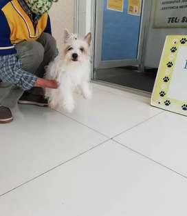 Se vende cachorra de yorky blanca