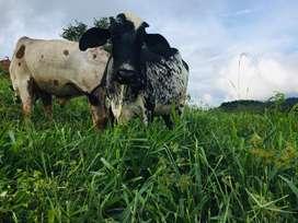 Vacas Girolando Lecheras Holstein Gyr