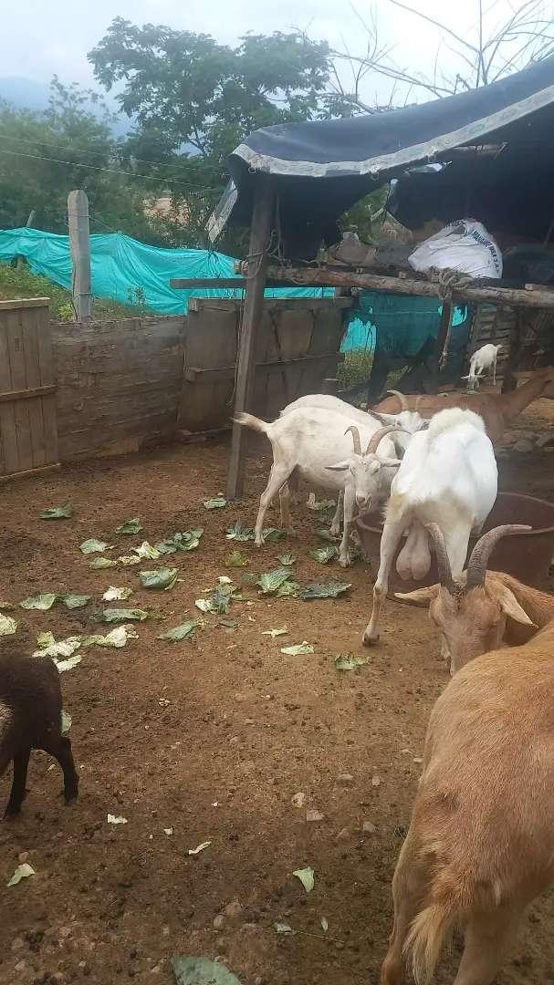 Vendo lote de cabras lecheras  alpina y el padron