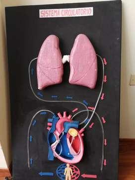 Ve ta de maqueta sobre si sistema circulatorio