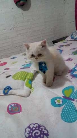 Se vende gato persa 100% puro económico de 3 meses de edad