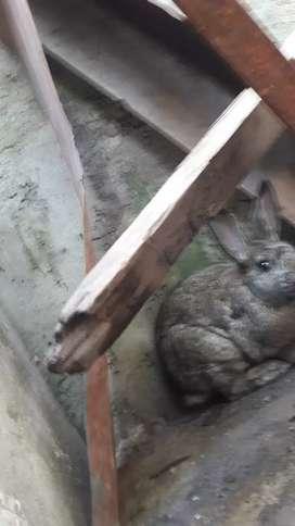 Vendo hermoso conejo