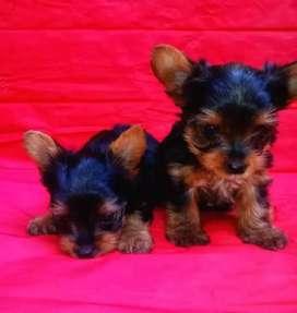 Hermosos y lindos cachorros raza Yorkshire  terrier en venta