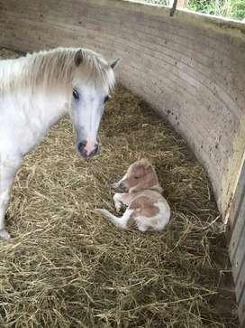 Pony preñada